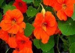 گل های فصلی (6)