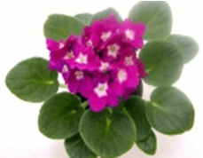 About African Violet (1)