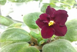 everything about african violet