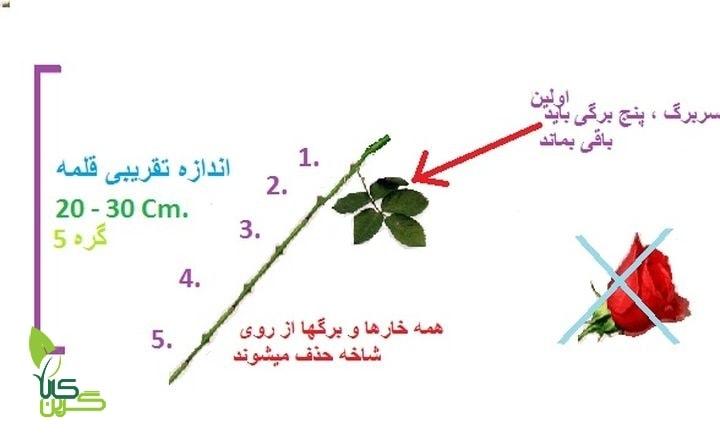 روش تکثیر و قلمه گیری (5)