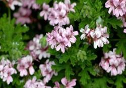 گیاهان فضای باز (11)